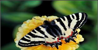 保護中華虎鳳蝶